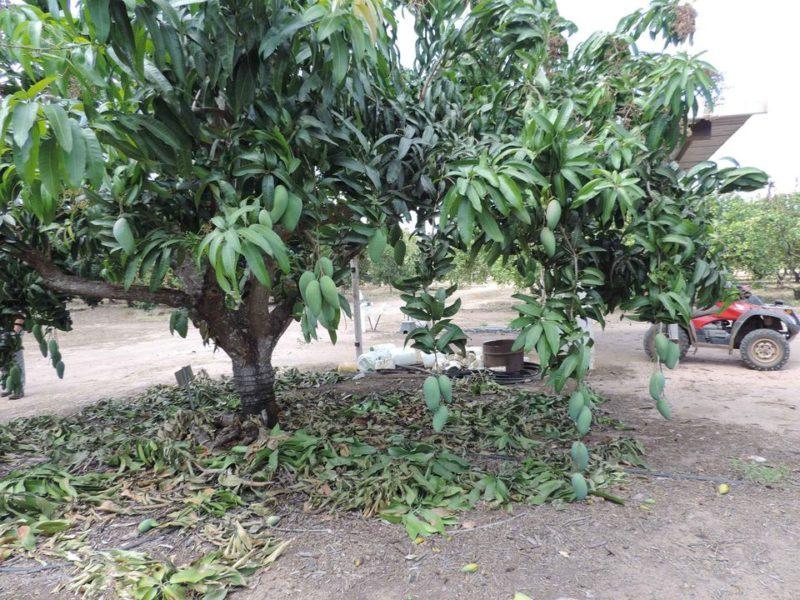 mango-ataulfo