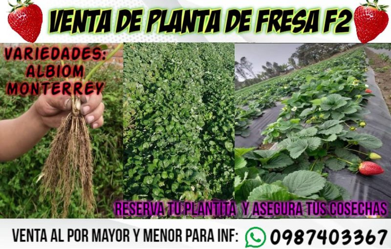 planta-frutilla-02